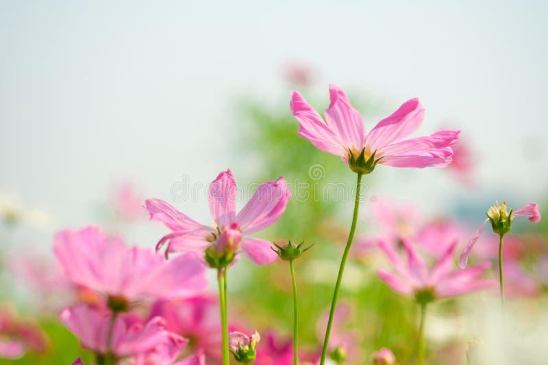 Rosa kosmos blommar i trädgård arkivfoton