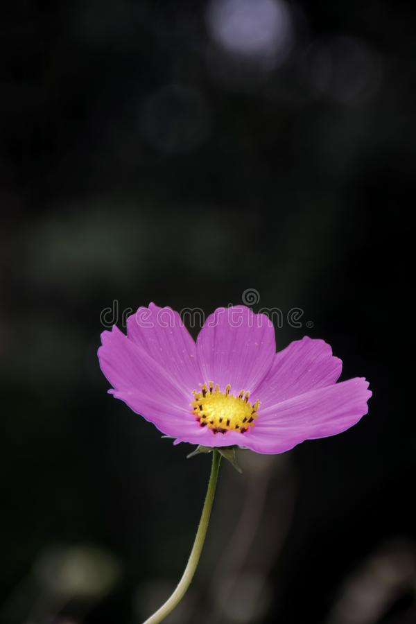 Rosa Kosmos der Nahaufnahme blüht im Garten und im schwarzen Hintergrund lizenzfreie stockbilder
