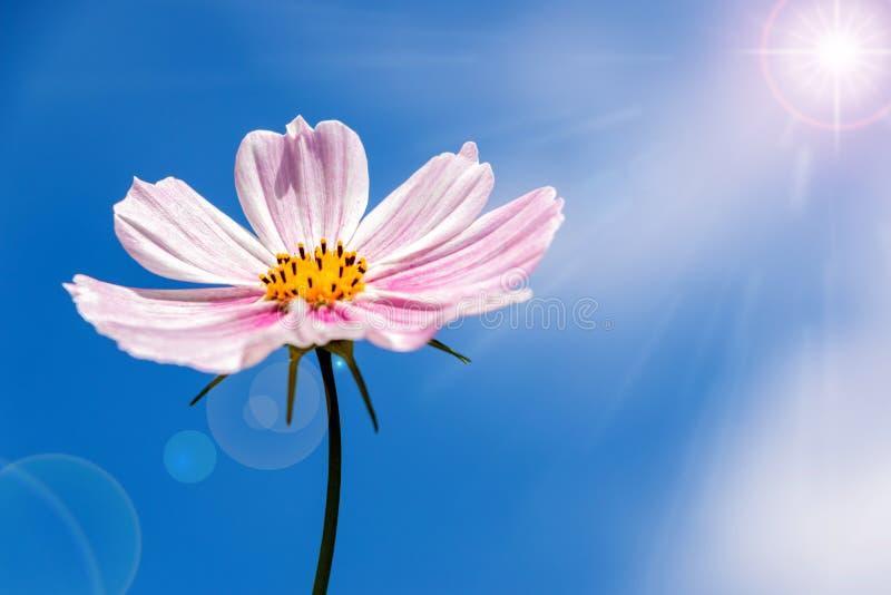Rosa kosmosblomma i solljuset fotografering för bildbyråer