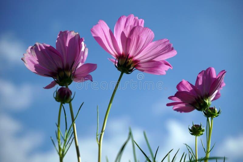 Rosa kosmosblommor på bakgrund för blå himmel arkivfoton