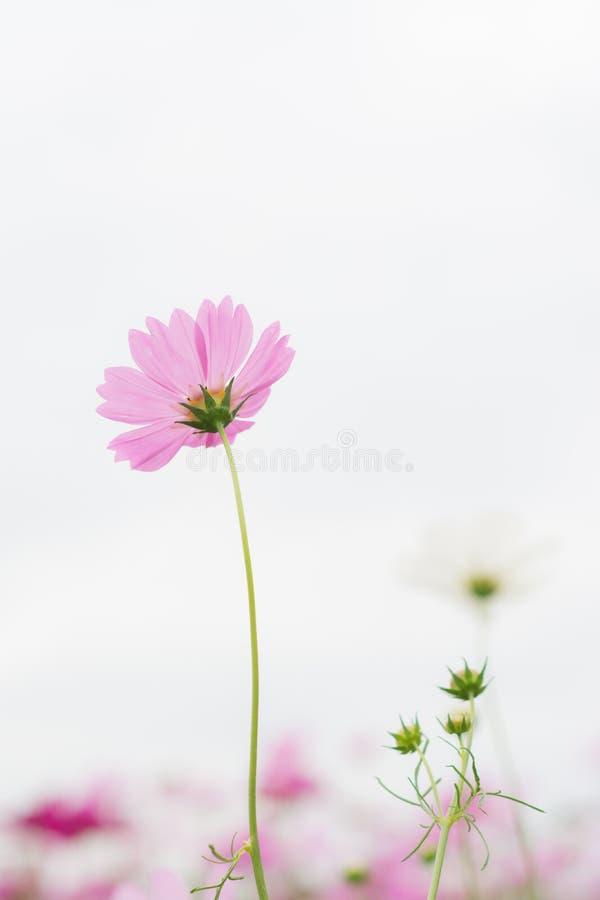 Rosa Kosmosblume auf weißem Hintergrund stockfotos