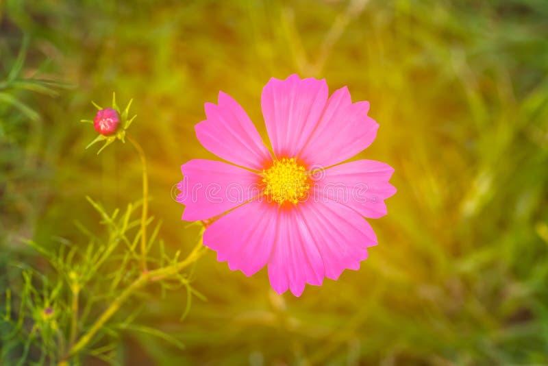 Rosa Kosmos-Blume Cosmos Bipinnatus mit verschwommenem Licht b stockbilder
