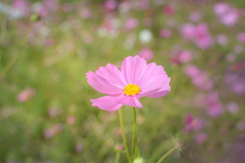 rosa Kosmosblumen-Weichzeichnungshintergrund lizenzfreies stockbild