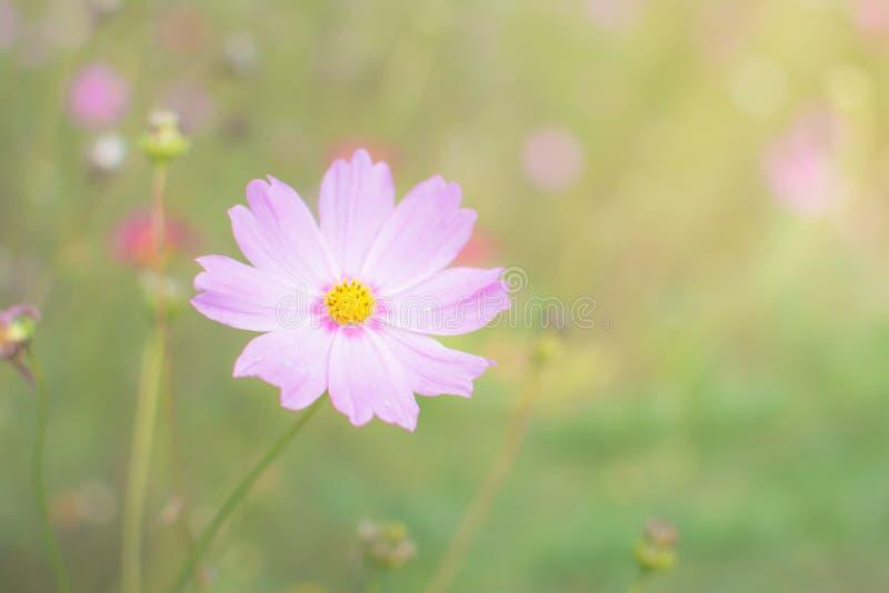rosa Kosmosblumen-Weichzeichnungshintergrund stockfotografie
