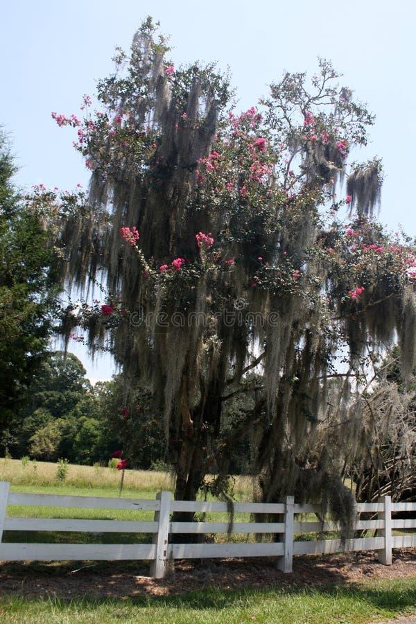 Rosa Krepp-Myrte-Baum bedeckt im spanischen Moos lizenzfreie stockbilder
