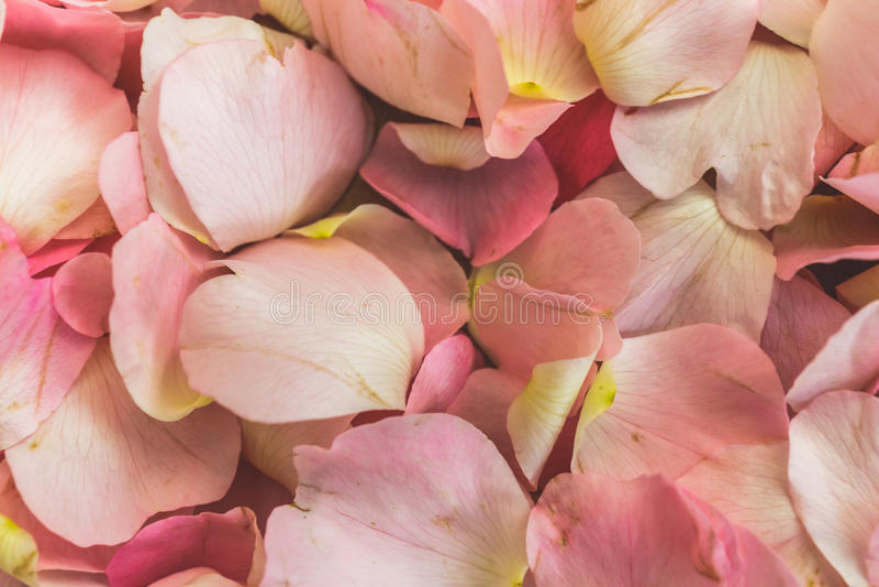 Rosa kronblad av löst steg blommor, hund-rosen, briaren, törnbuske, kräfta-rosen, äppelros, steg blommor bakgrund eller modell royaltyfria bilder