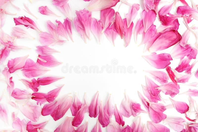 Rosa kronblad av pionen blommar att ligga på vit bakgrund med stället för text i mitt av ramen Lekmanna- lägenhet arkivbild