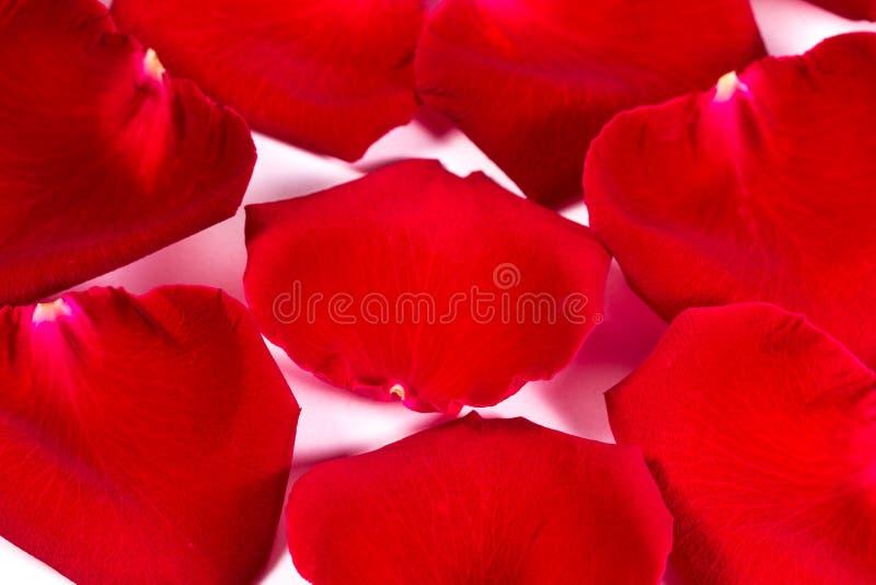 Rosa kronblad för rött silke arkivbild
