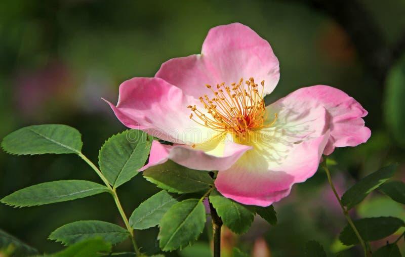 Rosa kronblad för sommar royaltyfri foto