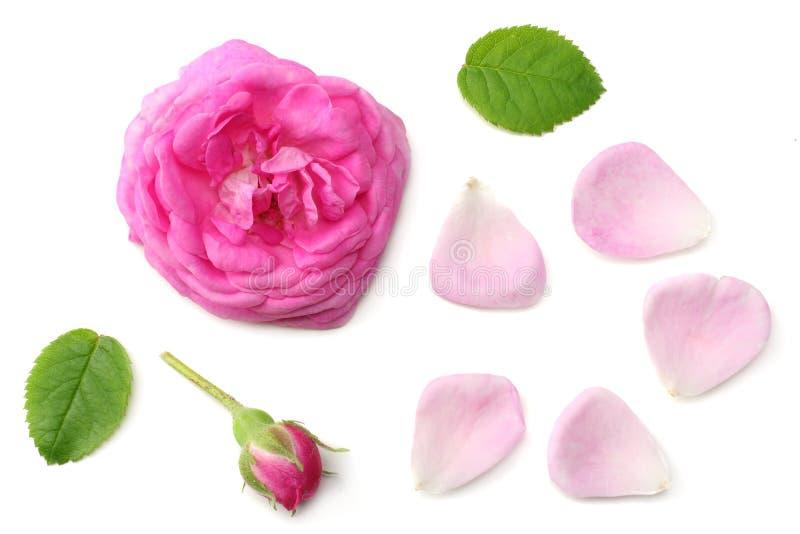 rosa rosa kronblad med det rosa rosa blommahuvudet som isoleras på vit bakgrund Top besk?dar royaltyfria bilder
