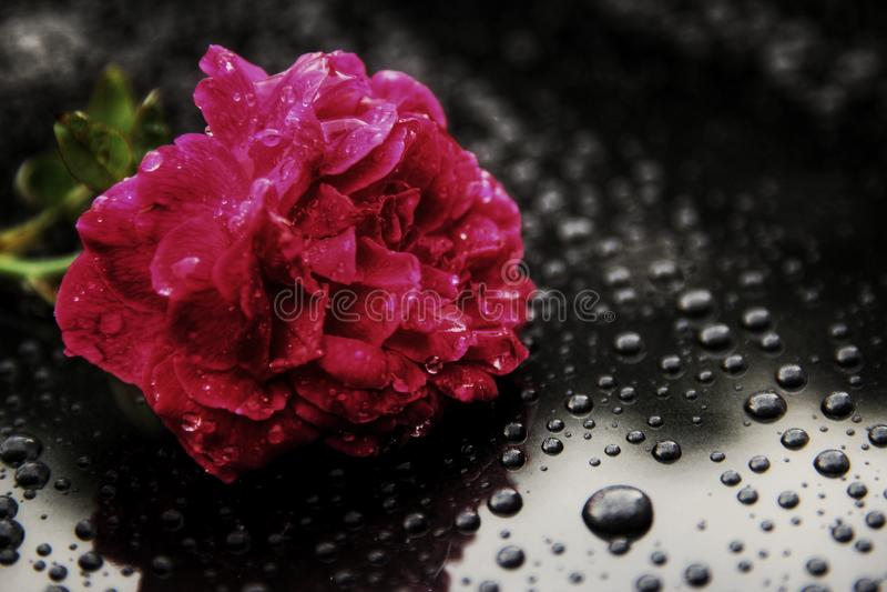 Rosa krople zdjęcie royalty free