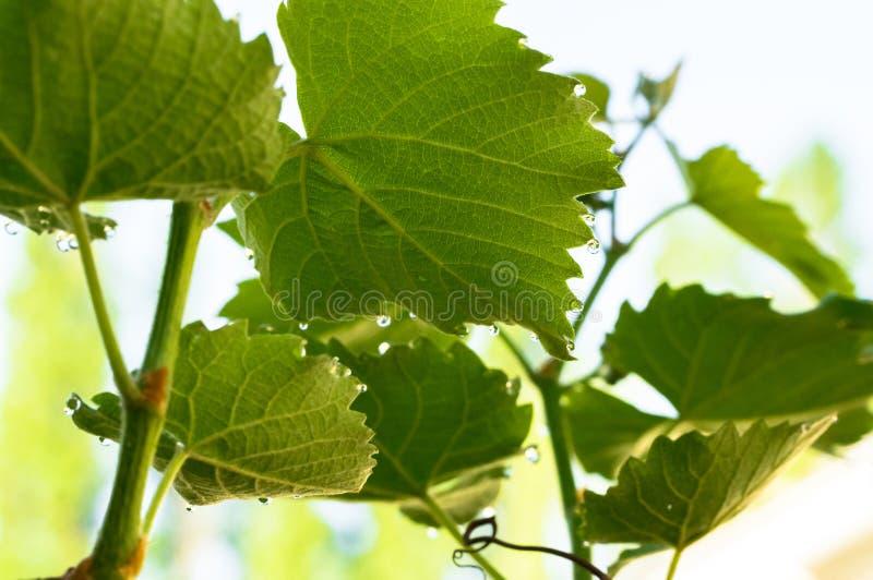 Rosa krople i zielony gronowy liść Pogodny wiosna winnica fotografia royalty free