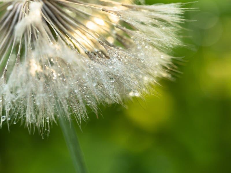 Rosa krople na dandelion zamkniętym w górę w kontek?cie niebieskie chmury odpowiadaj? trawy zielone niebo bia?e wispy natury zdjęcia stock