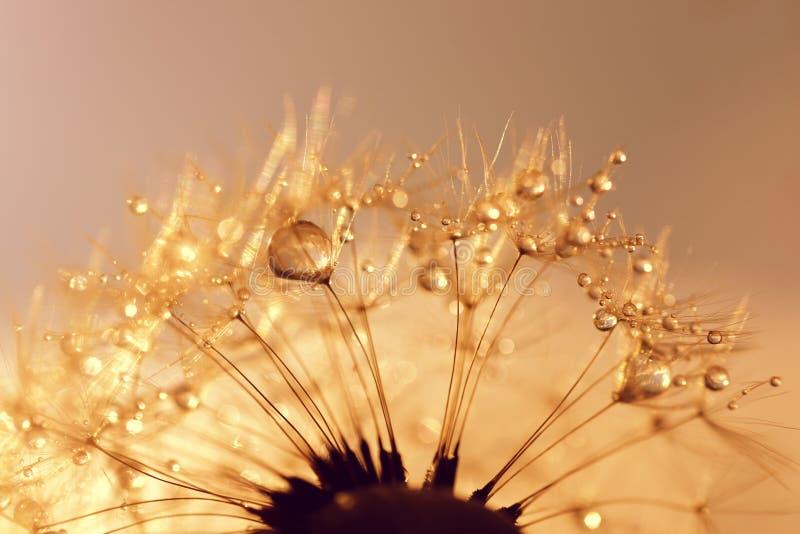 Rosa krople na dandelion ziarnach przy wschodu słońca zakończeniem up zdjęcia stock