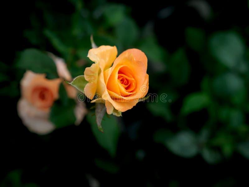Rosa krople na Pomarańczowego koloru żółtego róży kwiatach zdjęcia royalty free