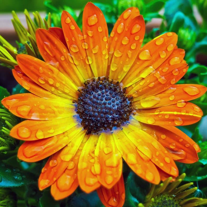 Rosa krople na pomarańczowym kwiacie obrazy stock
