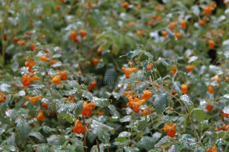 Rosa krople na roślinach z pomarańczowymi kwiatami fotografia stock
