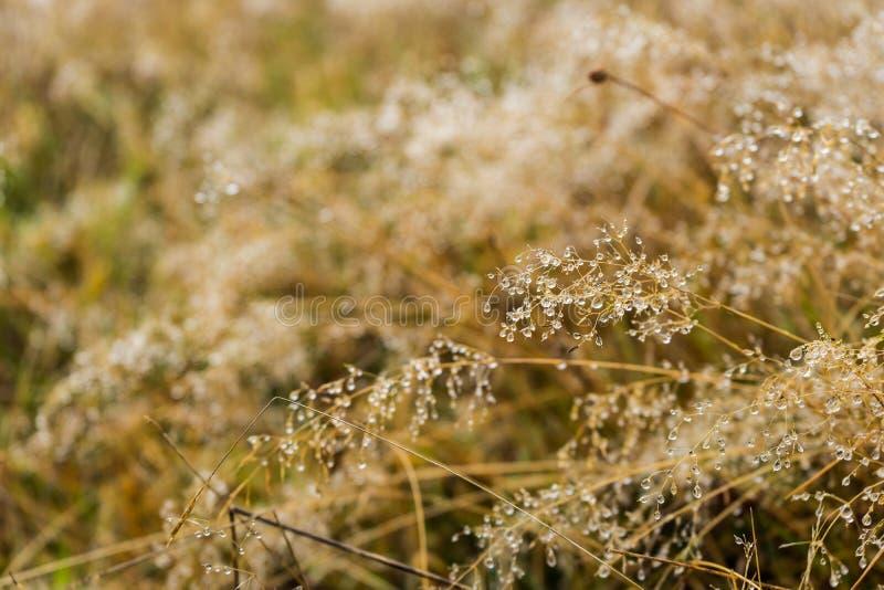 Rosa krople na wysuszonej trawie zdjęcie royalty free