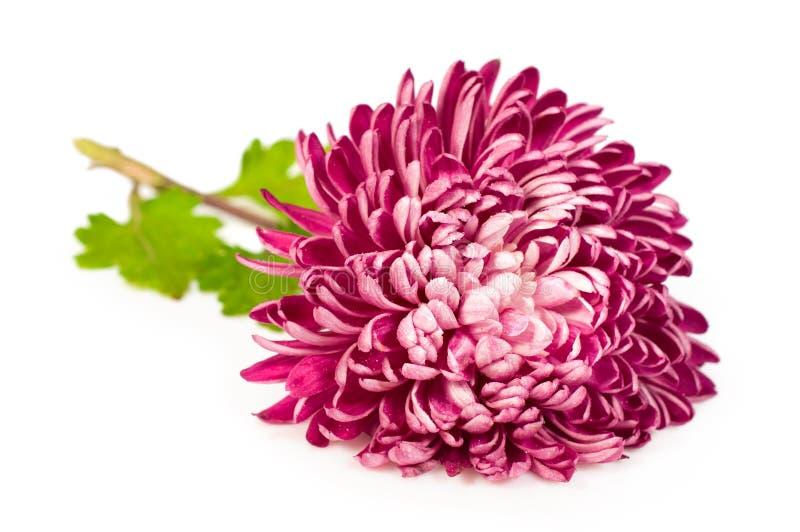 Rosa krysantemum fotografering för bildbyråer