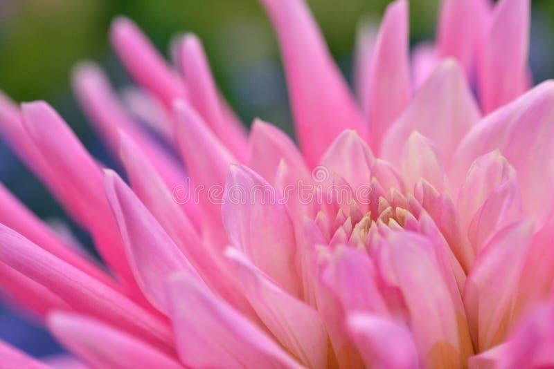 Rosa krysantemum Indicum royaltyfria bilder