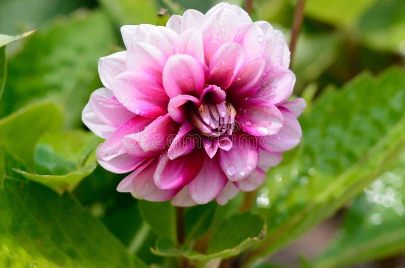 Rosa krysantemumblom i sommarträdgård nära huset royaltyfri bild