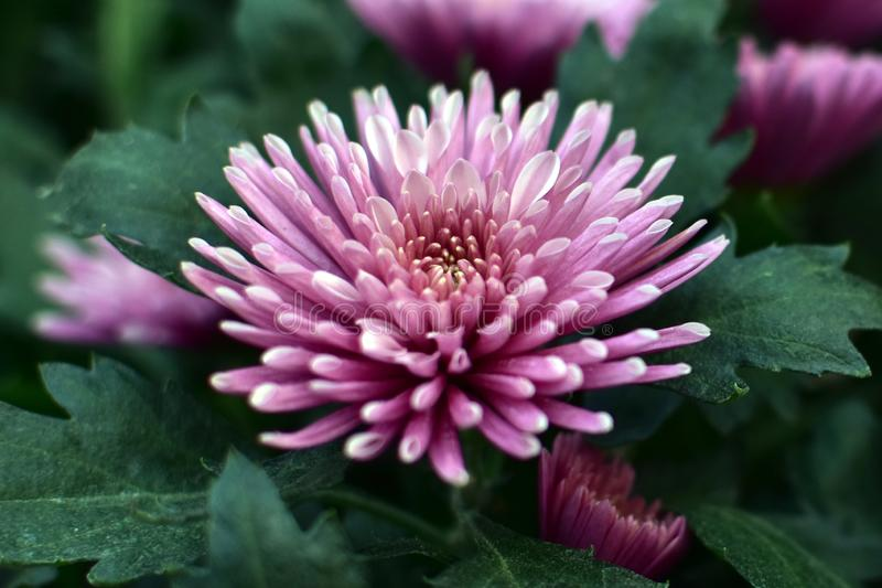 Rosa krysantemumblommor blommar i trädgården royaltyfri fotografi
