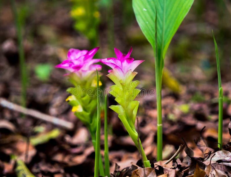 Rosa Kurkuma alismatifolia Siam-Tulpe blüht Blüte an Nationalpark Khao Yai lizenzfreie stockbilder