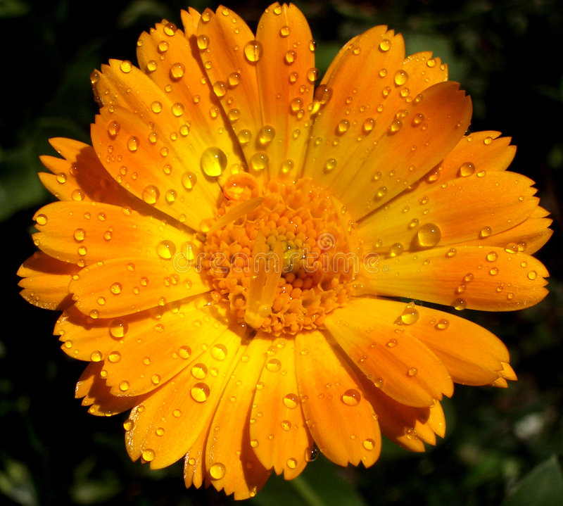 Rosa Kwiat obrazy stock