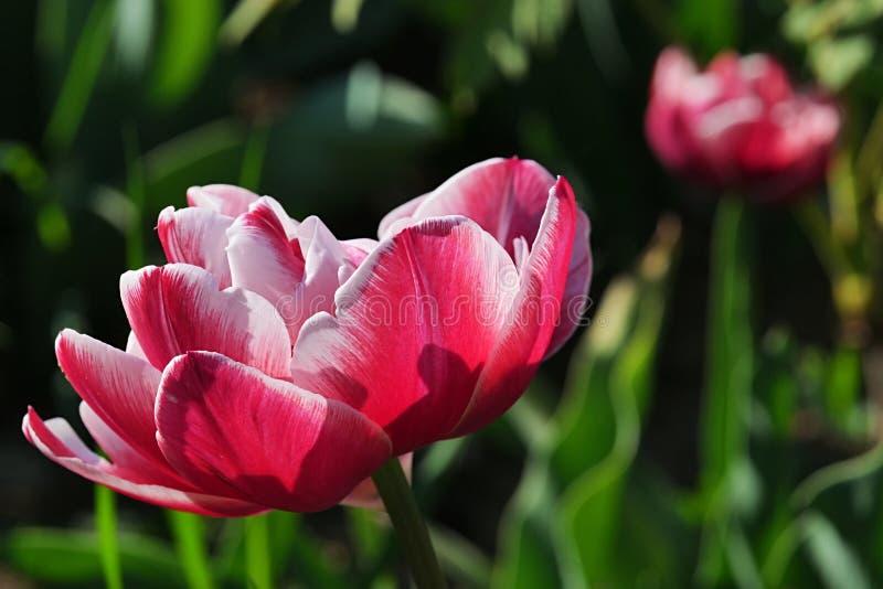 Rosa a la flor blanca del tulipán de la clase de Leen Van Der Mark en flor lleno foto de archivo libre de regalías