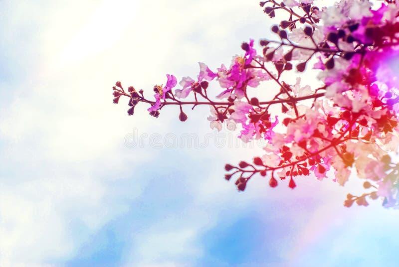 Rosa Lagerstroemiaspeciosablomma med bakgrund för blå himmel royaltyfria bilder