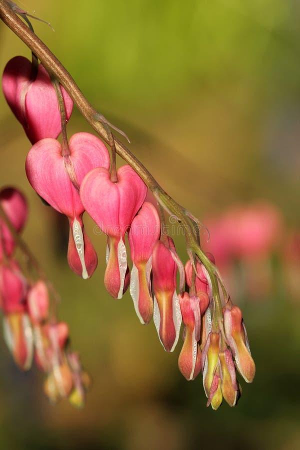 Rosa Lamprocapnos-spectabilis - rosa blutendes Herz stockfotos
