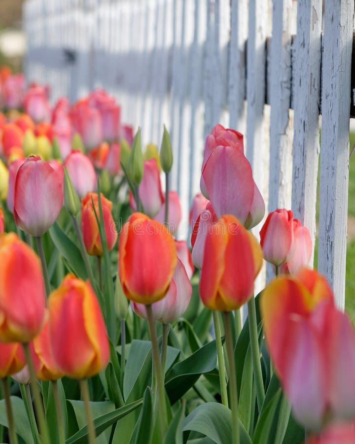 Rosa, laranja, tulipas amarelas, cerca de piquete branca fotos de stock royalty free