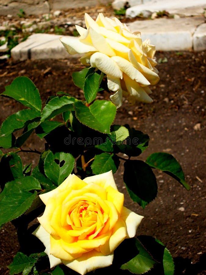 Rosa lat för te Rosa odorata eller hybrid- variation för doftande ros-en av rosor som tillbaka daterar till den kinesiska rosen T royaltyfri foto