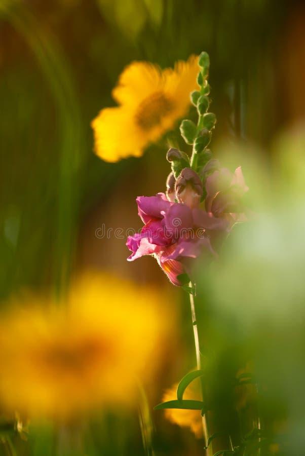 Rosa lejongap med gul Coreopsis royaltyfria bilder