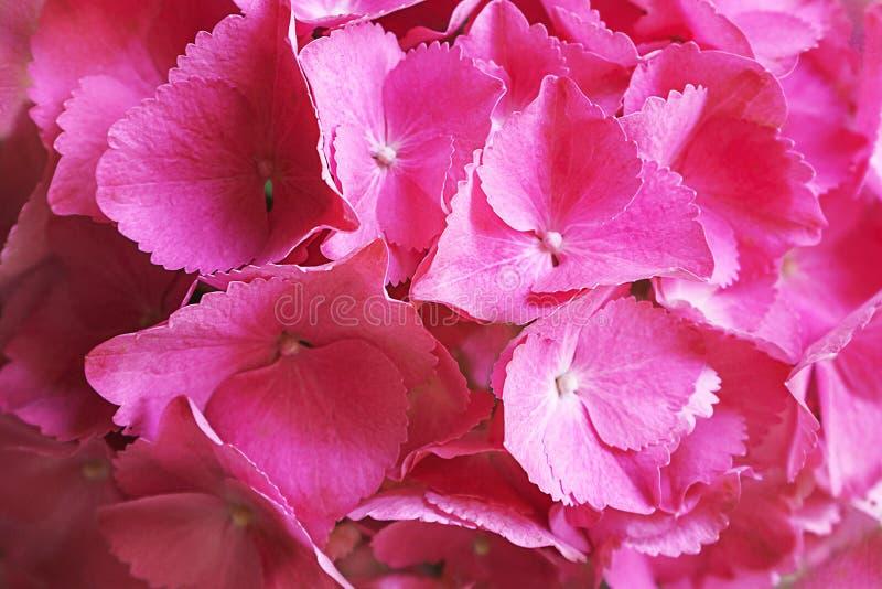 Rosa, lila, macrophylla p?rpura de la hortensia de la flor de la hortensia o flor del hortensia floreciendo en un parque y un jar foto de archivo libre de regalías
