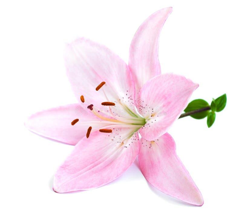 Rosa Lilie stockfoto. Bild von weiß, pink, blütenstaub - 32879546