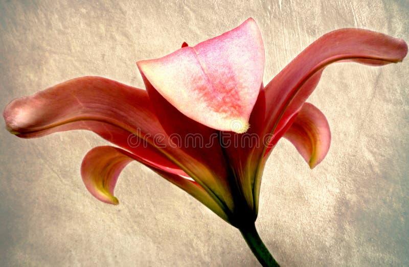 Rosa Lilie stockfoto