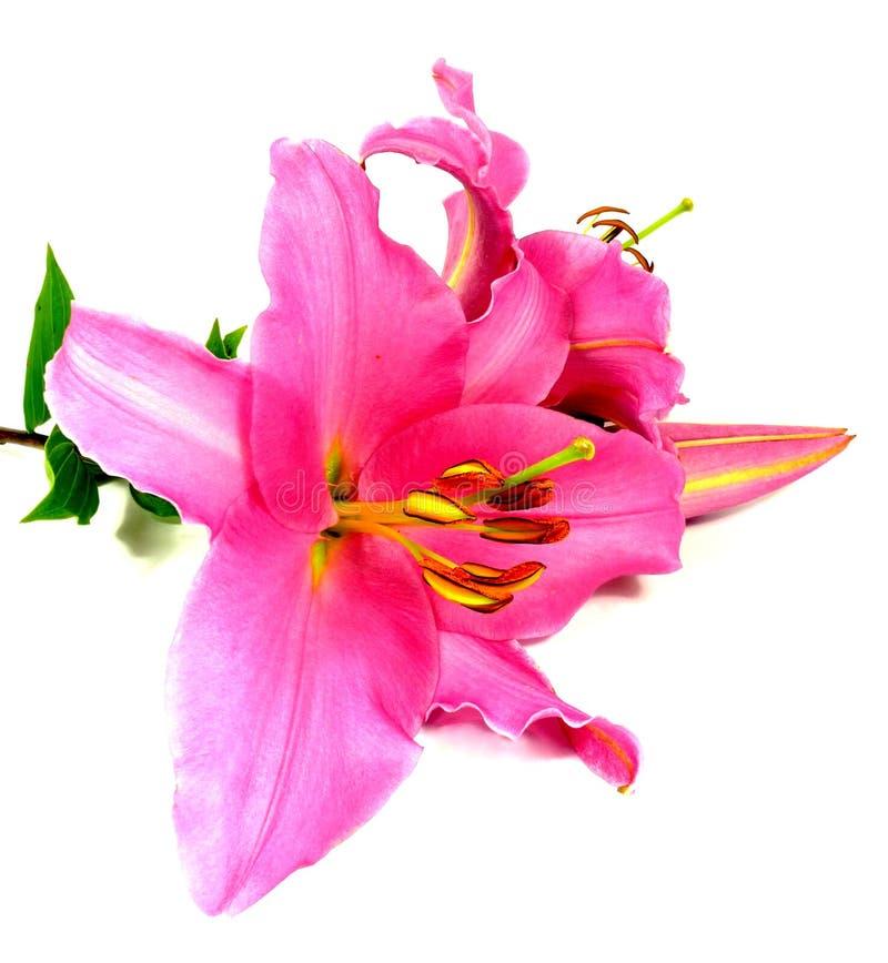 Rosa Lilie stockfotos