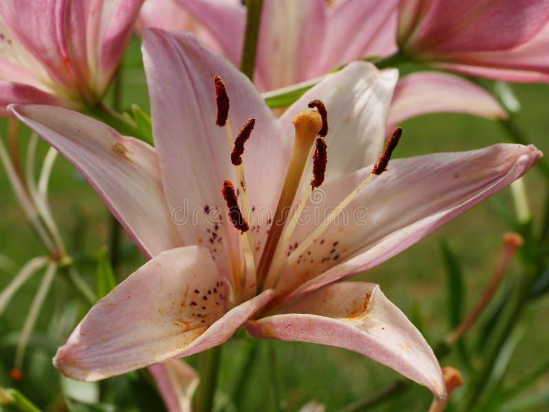 Rosa Lilie auf grünem Hintergrund stockfotografie