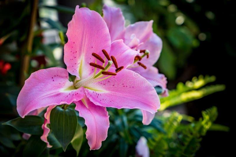 Rosa Lilie auf grünen Blättern lizenzfreies stockfoto