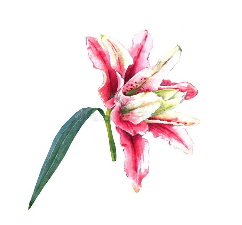 Rosa Lilie des Aquarells stock abbildung