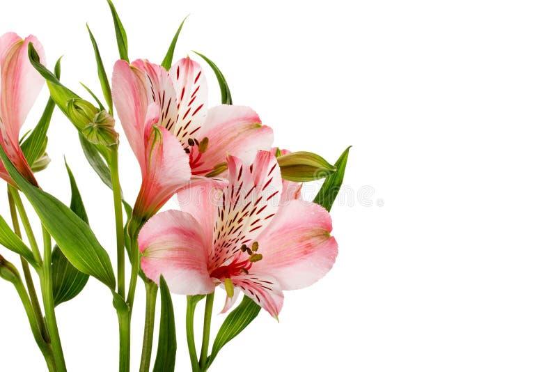 Rosa Lilien lokalisiert auf dem weißen Hintergrund lizenzfreie stockfotos