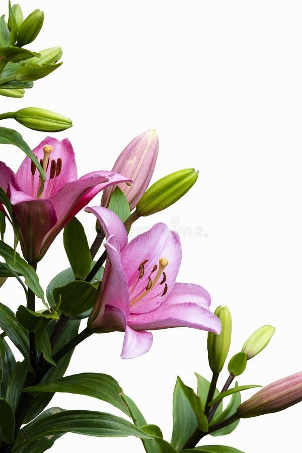 Rosa Lilienblume getrennt auf wei?em Hintergrund Lily Lilium-Hybridblume stockbilder