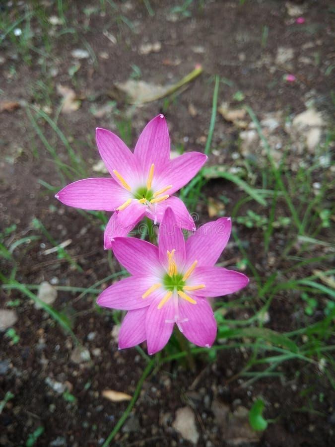 Rosa Lilienblumen lizenzfreie stockbilder