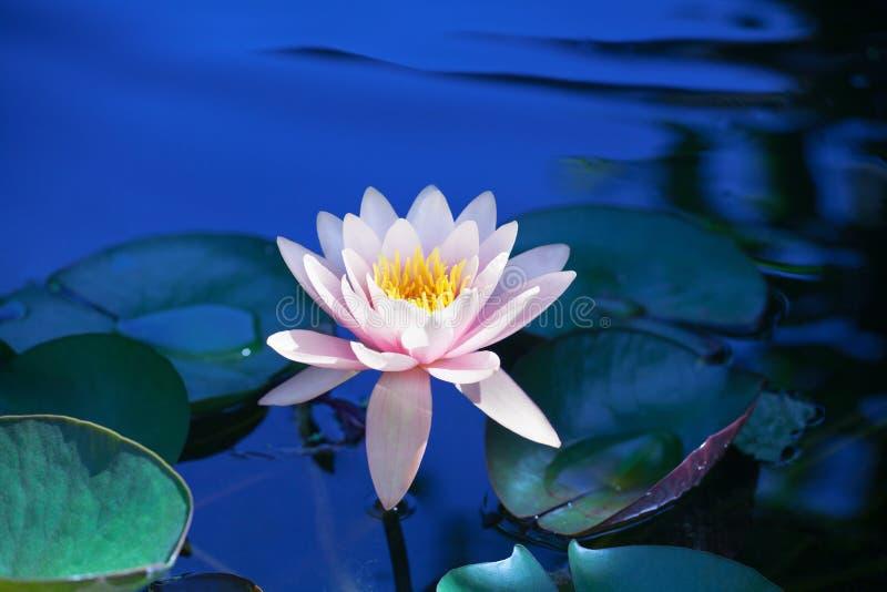 Rosa liljablommablomning på blått vatten och grönt sidabakgrundsslut upp, härligt purpurfärgat waterlily i blom på dammet, lotusb royaltyfria foton