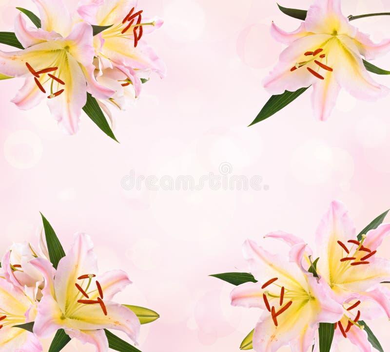 Rosa liljaram royaltyfri bild