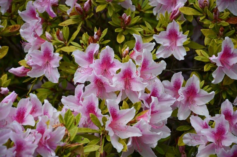 Rosa lillies stockbilder