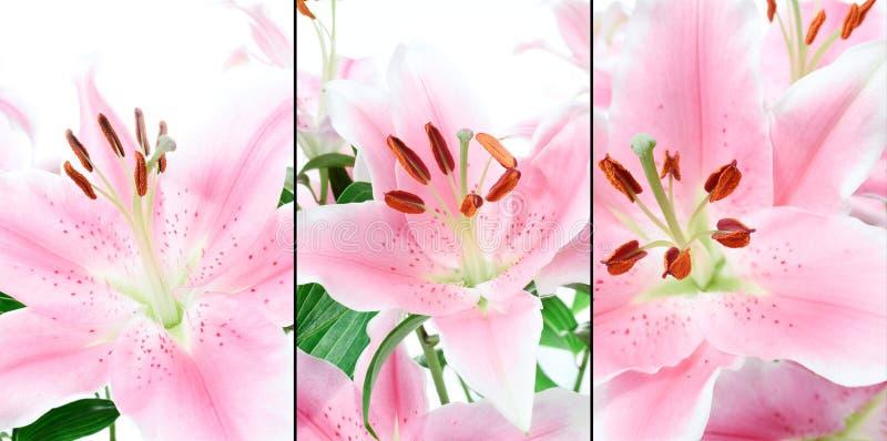 Rosa Lillies-Montage stockbild