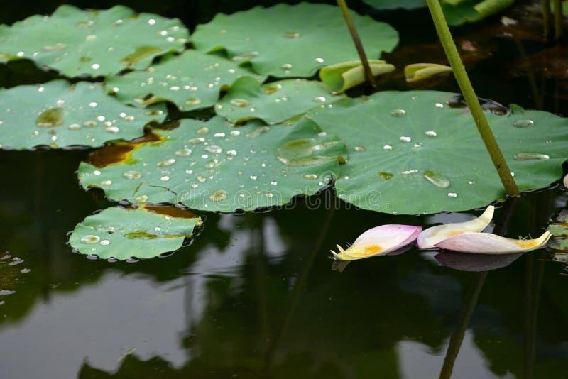 Rosa Lily Lotus-Blumenblattregentropfen lizenzfreie stockbilder