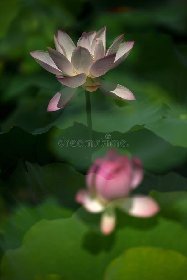 Rosa Lily Lotus delle coppie timida fotografie stock